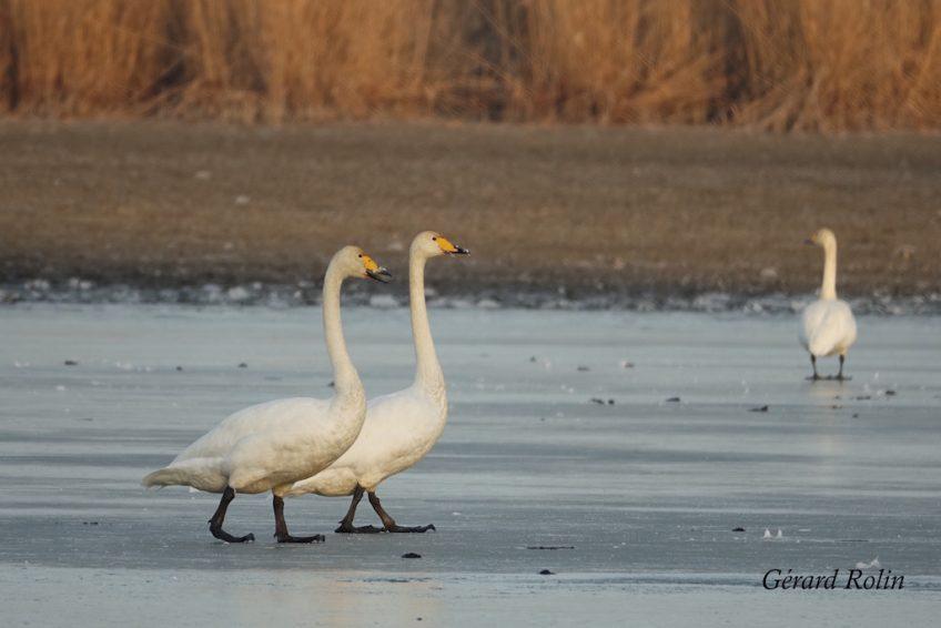 Février: oiseaux hivernants, grues cendrées et premiers migrateurs