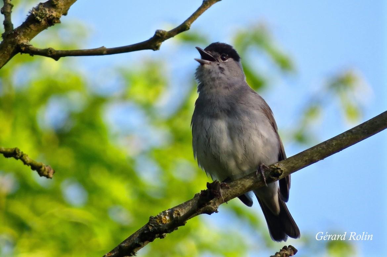 Sorties «Chants d'oiseaux»