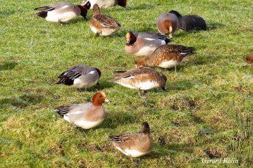 Décembre et janvier: Grues cendrées et oiseaux hivernants