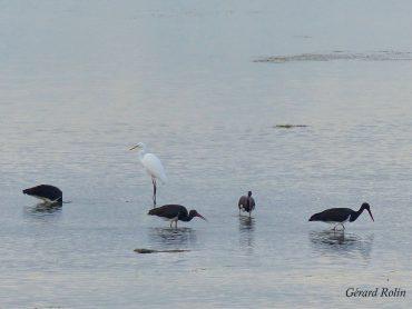 Sortie du 16 septembre: 58 espèces d'oiseaux / Morning trip, September 16th: 58 bird species.