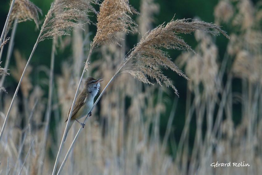 Avril, mai: sorties «Oiseaux chanteurs et oiseaux nicheurs»