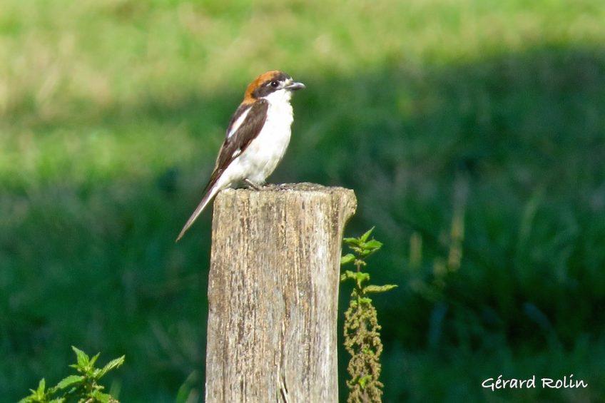 Sortie «oiseaux nicheurs» le 3 juin