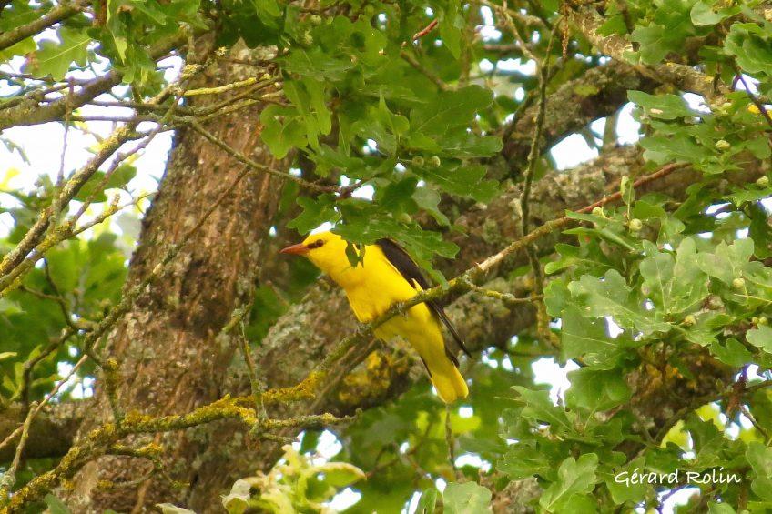 Oiseaux chanteurs et migrateurs – Stages Birder/Escursia  du 23 au 27 avril et du 3 au 7 mai