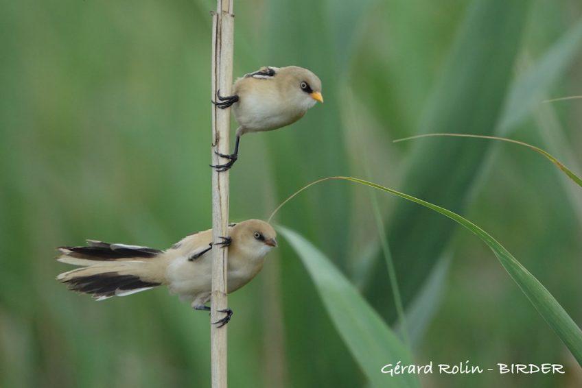 Voyages ornithologiques Escursia – Birder dans le delta du Danube