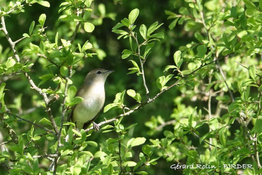 Séjour Escursia-Birder du 9 au 12 juin, plus de 100 espèces d'oiseaux attendues!