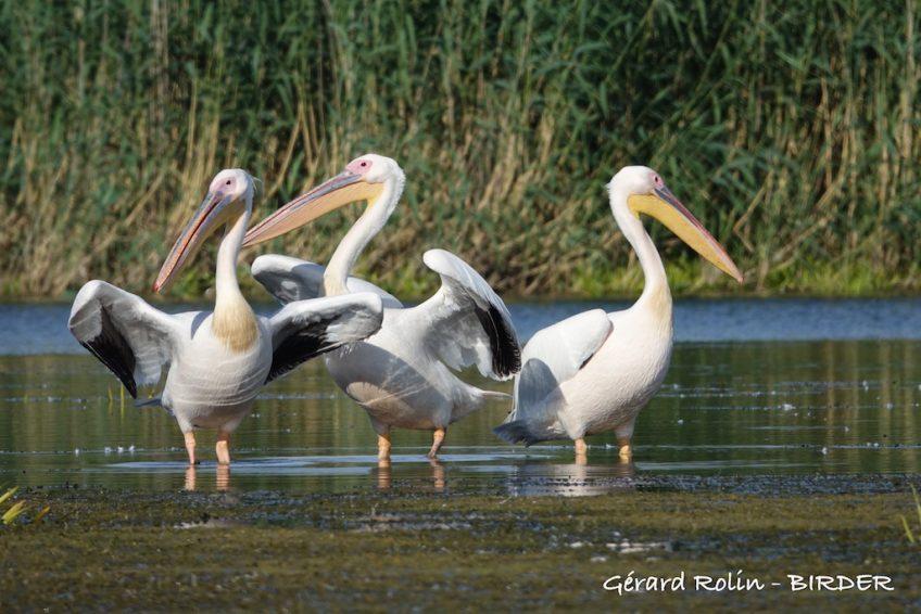 Delta du Danube Escursia – Birder en juin.