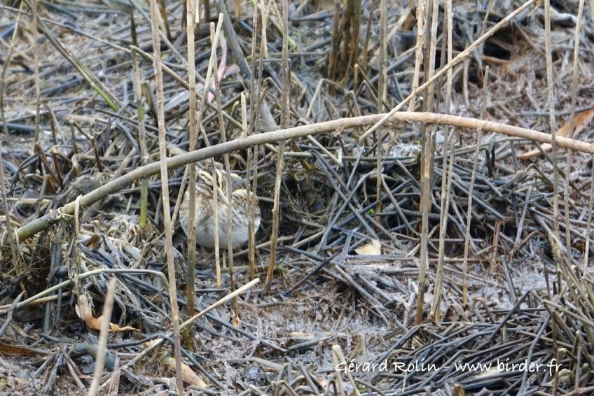 19 novembre: oiseaux nordiques et raretés