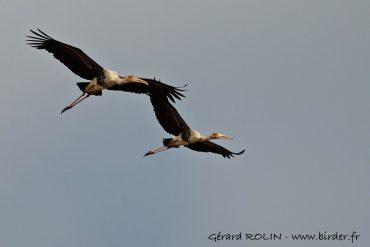 Circuit ornithologique au Cambodge en février