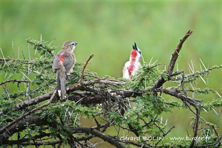 Voyage ornithologique et naturaliste dans les confins du Kenya du 24 janvier au 5 février 2020.